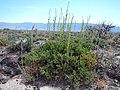 Artemisia nova (18890660335).jpg