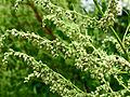 Artemisia vulgaris1.JPG