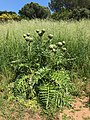 Artichoke plant with ripe flowers.jpg