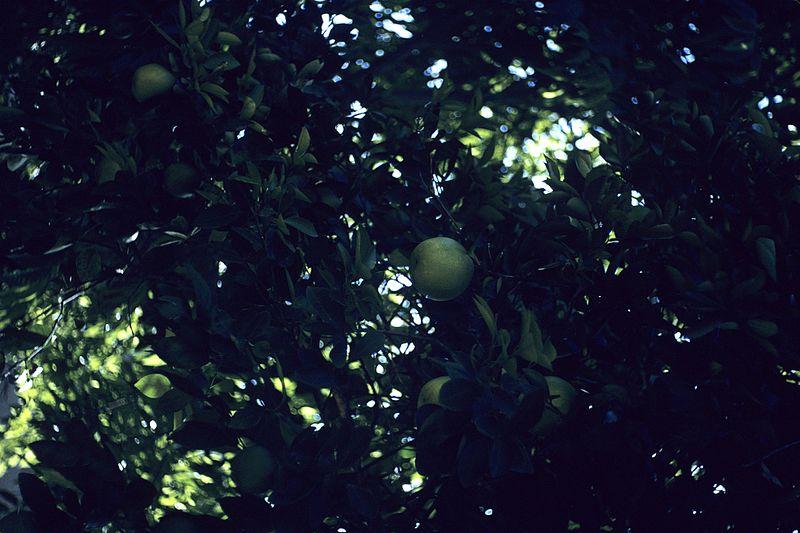 File:Artocarpus altilis WPC.jpg