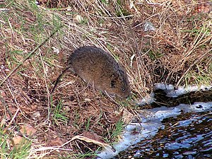 European water vole - Water vole, Ore Mountains, Germany
