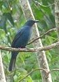 Asian Fairy-bluebird-Irena puella.JPG