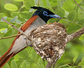 Asian Paradise Flycatcher (Terpsiphone paradisi)-male with a feed at nest W2 IMG 9304.jpg
