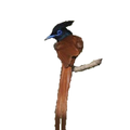 Asian Paradise Flycatcher icon.png