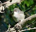 Asleep. Sardinian Warbler Sylvia melanocephala - Flickr - gailhampshire.jpg