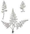 Asplenium montanum parsons.png