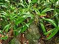Asplundia insignis(Cyclanthaceae).jpg
