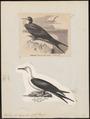 Atagen aquilus - 1700-1880 - Print - Iconographia Zoologica - Special Collections University of Amsterdam - UBA01 IZ18000193.tif