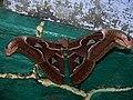 Atlas moth Anamalai hills.jpg
