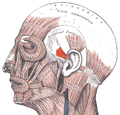 Auricularis anterior.png