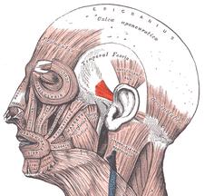 musculus auricularis anterior