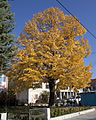 Autumn Tree Vitina (4061879727).jpg