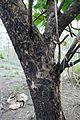 Bénin-Tectona grandis (4).jpg