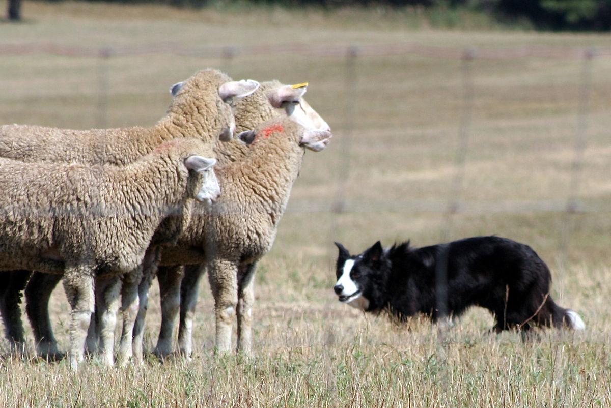 Sheepdog trial - Wikip...