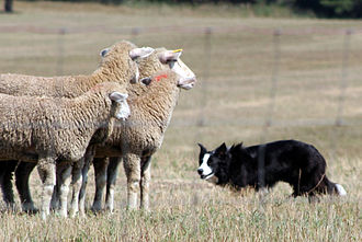"Sheepdog trial - The Border Collie uses a direct stare at sheep, known as ""the eye"", to intimidate while herding at a trial."