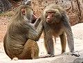 Baboon Grooming (38108517785).jpg