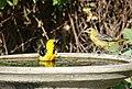 Backyard Oriole's (35861862961).jpg