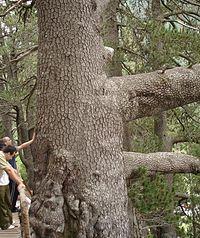 The Baikushev's Pine