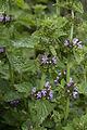 Ballota nigra fresnes-au-mont 55 03062007 3.jpg