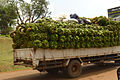 Bananas transported by truck in Uganda, 2010.jpg