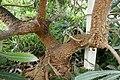 Banksia serrata in INBG Glasnevin Dublin 04.jpg