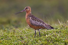 Bar-tailed Godwit.jpg