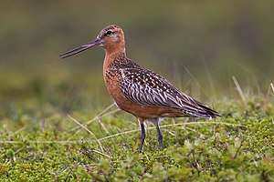 Bar-tailed godwit - Breeding plumage
