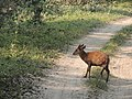 Barking deer male in velvet Kaziranga AJTJ DSCN4994.JPG