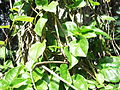 Basella alba-yercaud-salem-India.JPG