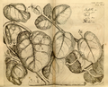 Basella rubra-Hortus Malabaricus-V7-47-T24.png