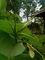 Bauhinia acuminata Bud.jpg