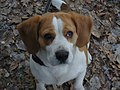 Beagle 2012.JPG