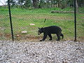 Bear at Nemacolin Woodlands (175482630).jpg