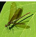 Beautiful Demoiselle. Female - Flickr - gailhampshire.jpg