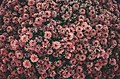 Bed of pink flowers from above (Unsplash).jpg