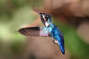 Bee hummingbird - Adult male in flight Cuba