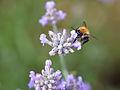 Bee on flower (9519712788).jpg