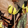 Bee on trout lily close.jpg