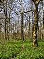 Beech woodland alongside Love Lane - geograph.org.uk - 391342.jpg