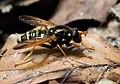 Beechwood hoverfly (Caliprobola speciosa), Parc de Woluwé, Bruxelles (44862405641).jpg