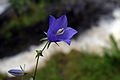 Bellflower in rain (7561701484).jpg