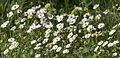 Bellis daisies in Gökçeli 02.jpg