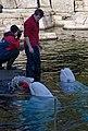 Beluga at Vancouver aquarum (2288788955).jpg