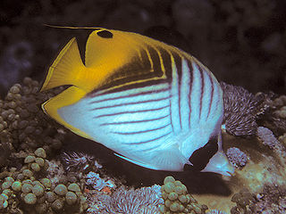 Threadfin butterflyfish species of fish