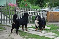 Bernese Mountain Dog Male And Female.jpg