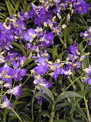 Orchids are abundantly found in Assam; a variety - Bhatou Phul or Vanda coerulea, the 'Blue Orchid
