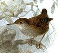 Biologia Centrali-Americana Microcerculus marginatus luscinia.jpg