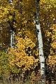 Birch (267368885).jpg