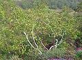 Birch 3d for green-magenta glasses - panoramio.jpg