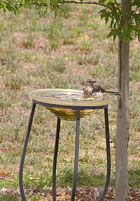 Bird bath backyard summer mockingbird.jpg
